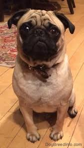 Pug Weight Chart In Kg Pug Dog Breed Information And Pictures