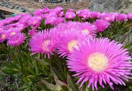 Image result for cactus flower in south africa