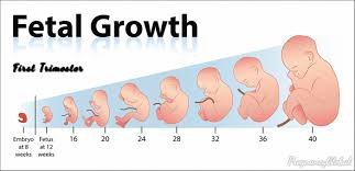Pregnancy Growth Chart Day By Day You Will Know How Many Weeks Is The First Trimester The
