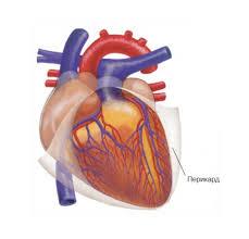 Строение сердца урок Биология Человек класс  Строение сердца2 внешн png