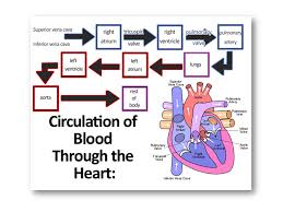 Circulatory System Learning Objectives 1 Identify The Main