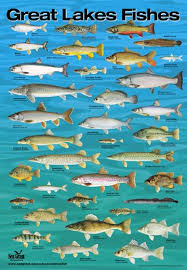 Poster Fish Of The Great Lakes By Wisconsin Sea Grant