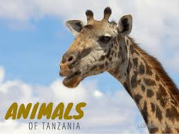 tanzania animal photos photo essay tanzania animals zebras hang out munching on grass like a ceramic figurines up in your grandmother s dusty curio cabinet warthogs run around their goofy grins and