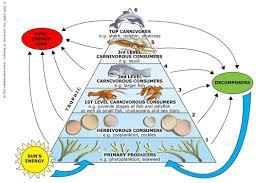 food web pyramid marine trophic pyramid science learning hub