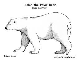 Small Picture Bear Polar Coloring Page