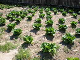basics of gardening for beginners. garden rototillers tillers reveiwed save your back and money with basic vegetable basics of gardening for beginners e