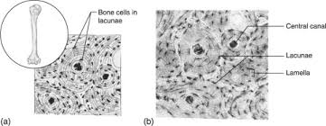 bone tissue bone tissue an overview sciencedirect topics