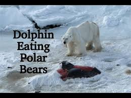 global warming dolphin eating polar bears  global warming dolphin eating polar bears