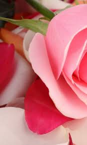 Beautiful Rose Flower Wallpaper for ...