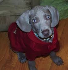 topdown view of a weimaraner puppy that is wearing a red coat and it is sitting