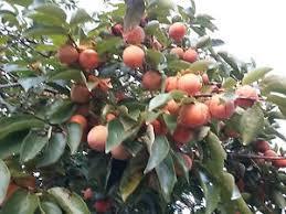 PERSIMMON TREE COLLECTION DIOSPYROS KAKI LOTUS VIRGINIANA Lotus Fruit Tree