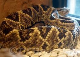 Snake With Diamond Pattern Enchanting Costa Rica Snakes Pictures Of Venomous And Nonvenomous Tropical Snakes