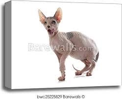 Sphynx Cat Color Chart Sphynx Hairless Cat Canvas Print