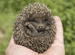 if you are looking for a unique as a pet bring home a hedgehog hedgehogs are tiny s here s all the information you d need for