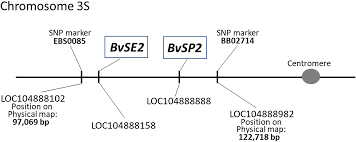 Two Sugar Beet Chitinase Genes Bvsp2 And Bvse2 Analysed With Snp