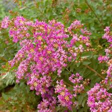Shrubs Botanical A Through PShrub With Pink Flowers