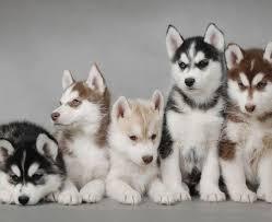 cute siberian husky puppy wallpaper.  Puppy Siberian Huskies Wallpaper With A Siberian Husky Titled Cute Husky Puppies For Puppy Wallpaper B