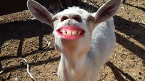 best and funniest goat videos new pilation