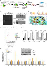 Genome Wide Identification Of Dna Pkcs Associated Rnas By