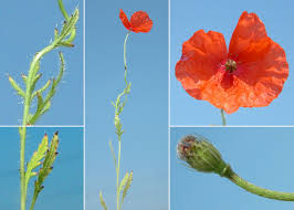 Papaver apulum Ten. - Esploriamo la flora: un progetto per le scuole