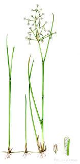 Grass Identification Chart Uk Blunt Flowered Rush Junus Subnodulosus Copyright Www Lizzie