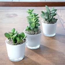 best indoor office plants. best indoor office desk plants succulent trio good uk australia