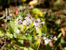 Symphyotrichum lateriflorum - Wikipedia