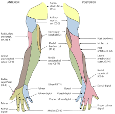 Cutaneous Innervation Of The Upper Limbs Wikipedia