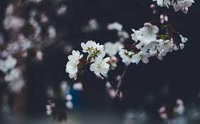 Flower White Flower Wallpaper ...