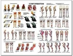 Details About Equine Conformation Anatomy Chart 2 Lfa 2537 Horse