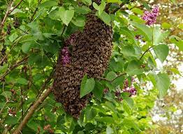 Bee Swarms: A Beginner's Guide - Bakersfield Pest Control - O'Connor