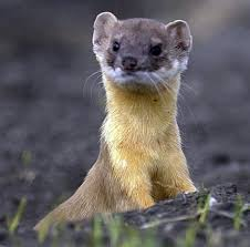 "rachel tsuna s ap comp blog the best blog you ll ever  in her essay ""living like weasels "" annie dillard suggests that humans should take a hint from weasels and start living simpler lives "" out bias or"