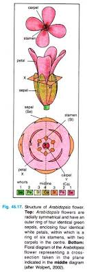 essay genetics of development of plants diagram