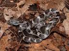 Images & Illustrations of black rat snake