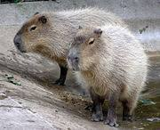 Rodents Lower Classifications Rodent New World Encyclopedia