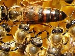 Αποτέλεσμα εικόνας για queen bee