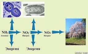 ychastok реферат по биология на тему хемосинтез реферат по биология на тему хемосинтез