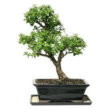 office bonsai tree. Bonsai Dwarf Jade Tree For My Office Plant Desk