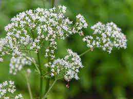 Valerian: Plant Care & Growing Guide