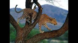 Pertarungan elang vs dua predator terbaik di dunia (elang vs singa vs harimau). Gambar Elang Vs Harimau