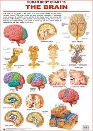 Brain Chart Human Body Charts The Brain