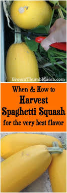 when and how to harvest spaghetti squash for the very best flavor brownthumbmama com