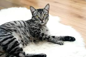 brown tabby cat lying on rug new cat puzzle rug diy zackgriffith of 17