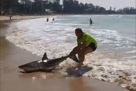 dramatic moment tradesman helps rescue beached great white shark an aussie tradesman dragged a shark back into the sea by it s tail after it got