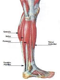 Resultado de imagen de musculos de las piernas
