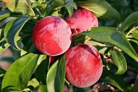 Plum Old Greengage  Buy Plum Tree  Purchase Plum Fruit TreesPlum Fruit Tree Varieties
