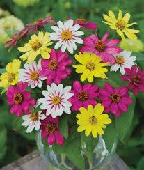garden flowers. Zinnia, Raspberry Lemonade Mix, , Large Garden Flowers