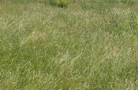 tall grass texture seamless. Perfect Tall Tall Grass 27 Of Photosets In Grass Texture Seamless