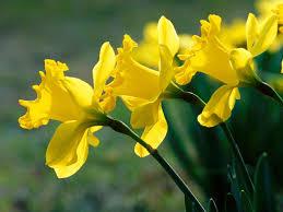 daffodils focus of new children s memorial in blue ridge ga
