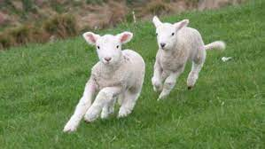 Delivering 5000 baby lambs on the farm is a medical wonder   Stuff.co.nz